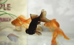 7 Best Tank Mates for Black Moor Goldfish - Fishkeeping Today